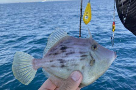 11月22日の釣果報告!!カワハギ釣れましたよ。